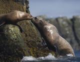 Stellar Sea-lion Dad kisses mom