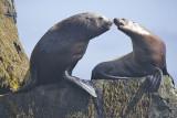 Stellar Sea Lion pair