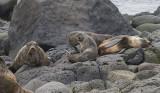Stellar Sea Lions Relax