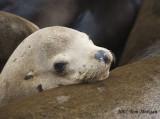 California Sea Lion young relaxes