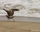 Bird on beach - Aliso Beach, Laguna Beach CA