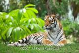 Miami Metro Zoo  Tigers