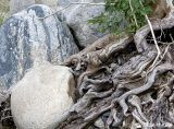 Boulder_roots_4420.jpg