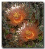 Barrel Cactus Blossoms I