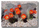 Cactus_bloom_1169_500.jpg