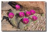 Hedgehog Cactus & Blooms