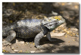 Desert Spiny Lizard Close-up