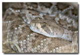 Western Diamond-backed Rattlesnake --- Pink form