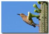 Gila Woodpecker on Saguaro Blossom