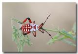 Hemipteran