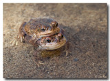 Toads in Love
