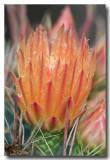 Barrel Cactus Blossom II