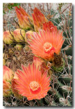 Barrel Cactus Blossoms III