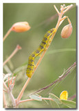 Sulphur Butterfly Caterpillar - Yellow Form