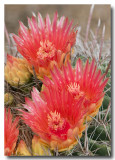 Barrel Cactus Blossoms IV