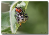 Jumping Spider  with Meal