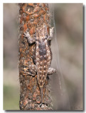 Desert Spiny Lizard --- Really Spiny