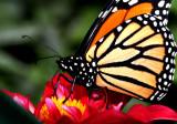 IMG_9040-monarch-900.jpg