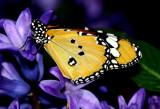 IMG_5111-papillon.jpg
