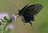 IMG_8663-papillon-900.jpg