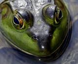IMG_4119--tête de grenouille.jpg