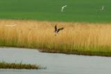 One Osprey, One Fish and Three Gulls.