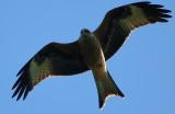 Red Kite over Tal y Llyn