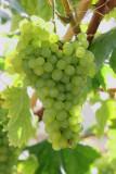Grapes at St Fagans