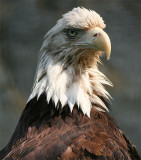 Bald Eagle (May 07)