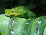 Emerald Tree Boa (May 07)