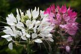 Flower (Sep 07)
