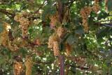 Grapes, Turpan (Oct 07)
