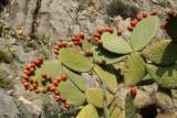 Segria Prickly Pear