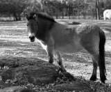 Prjevalsky's wild horse
