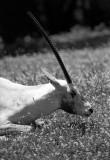 oryx (scimitar horned) antelope in profile