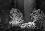 snow leopard pair