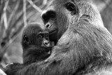 baby mountain gorilla with mother