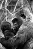 baby mountain gorilla with mother 2