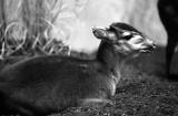 dik-dik antelope