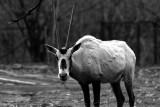 oryx (gemsbok) antelope
