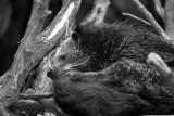 binturong (malaysian bearcat)
