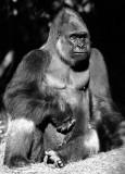 mountain gorilla portrait