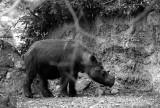 javan rhinoceras