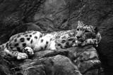snow leopard in repose