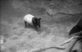 baby tapir with mother