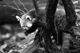red panda (firecat)