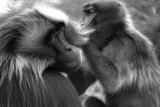 gelada baboons grooming 2