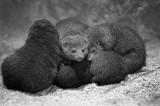 pygmy mongoose group