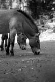 prjevalskys wild horse pair