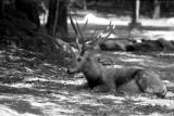 Pere Davids deer buck